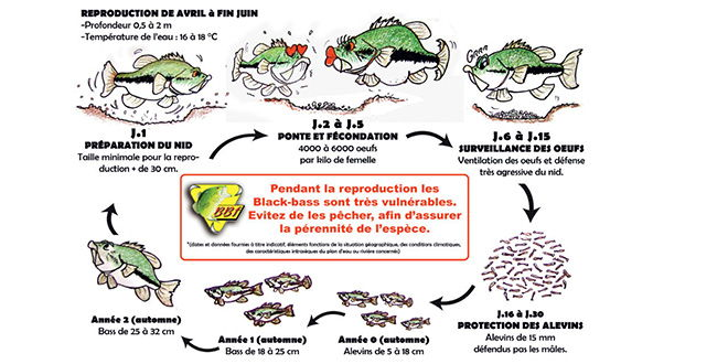 Cycle biologique du black-bass