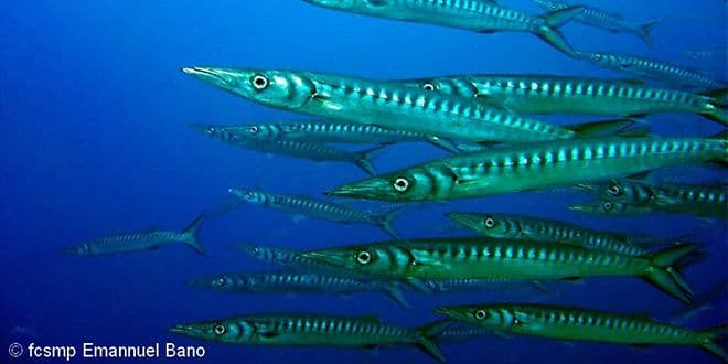 Photo of Le barracuda, un poisson de mer en forme de torpille